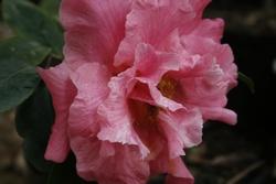 fiore camelia