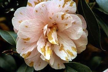 fiore camelia malato