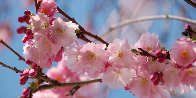 Infiorescenza del ciliegio a primavera