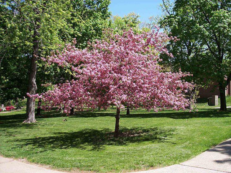 Una pianta da ciliegio ornamentale