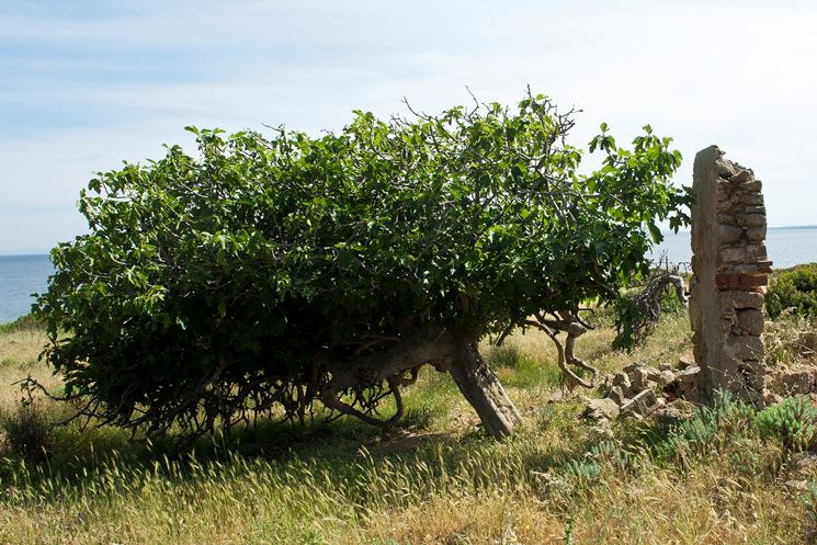 Un esempio di albero di fico