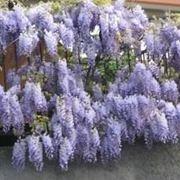 glicine fiore