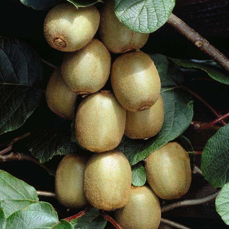 Pianta kiwi frutti