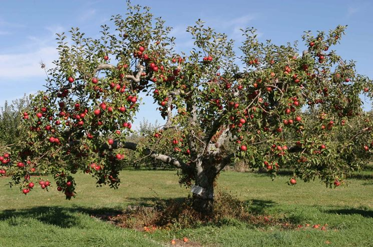 Albero melo frutti