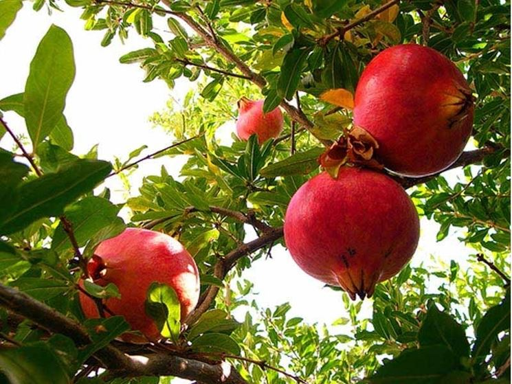 Frutti melograno