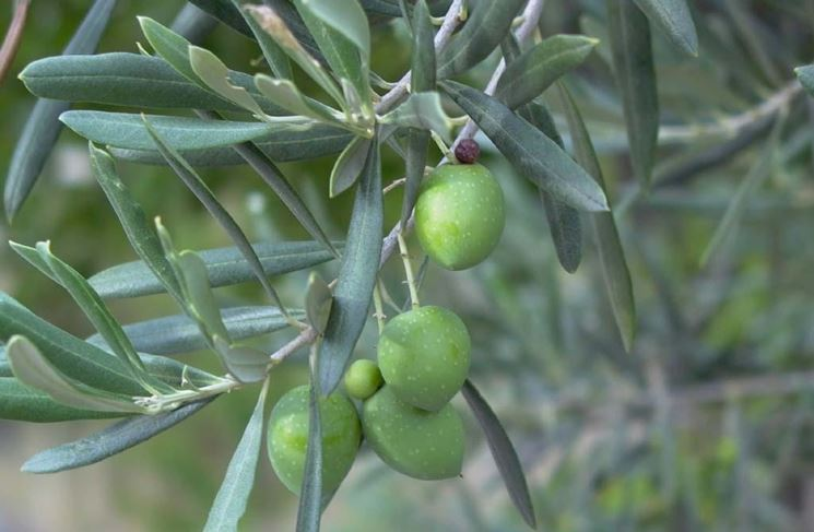 Potatura olivo foto 1