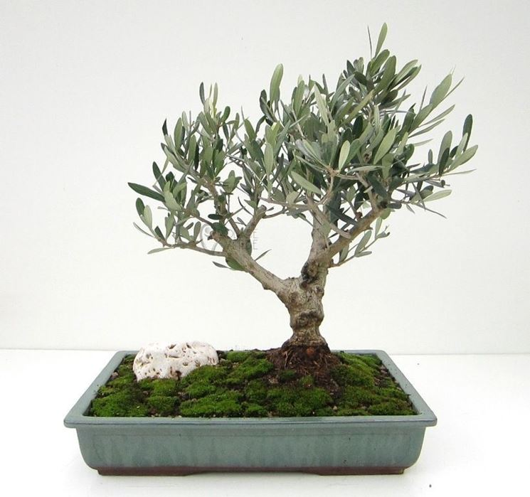 Foto bonsai di olivo.