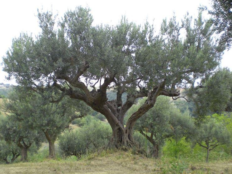 Foto albero di olivo