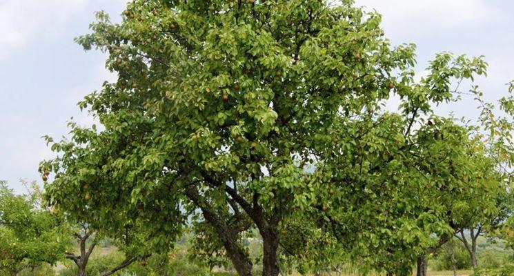 Albero pere