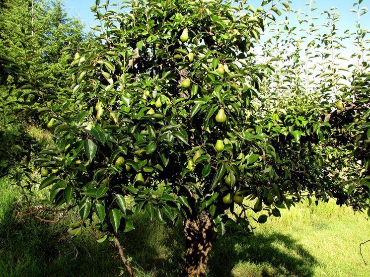 Albero pero frutto