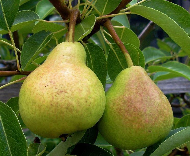 Frutti pianta pero