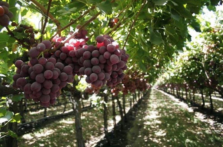 Potatura vite tecniche di giardinaggio come potare la vite - Red globe uva da tavola ...