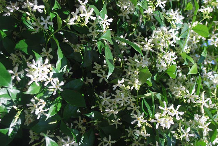 Gelsomino fiore