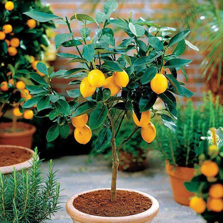 Limone vaso terra