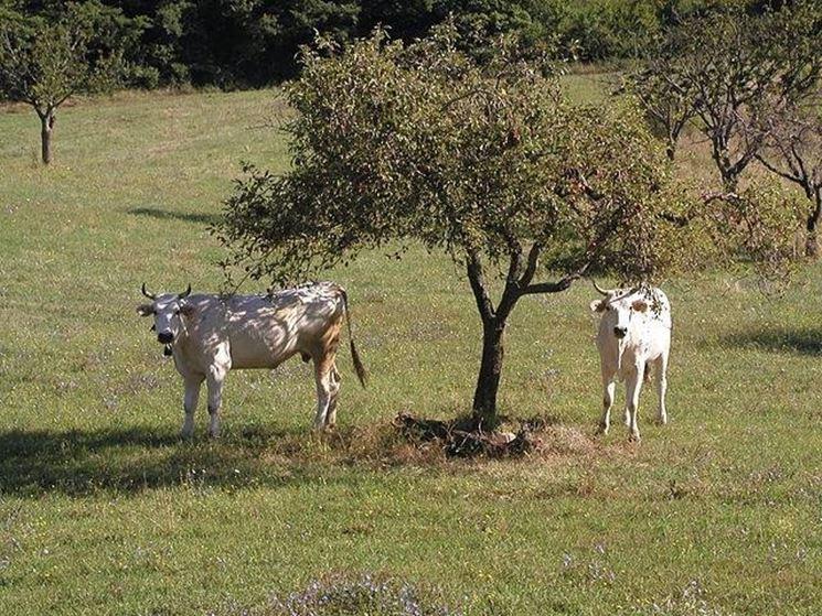 Mucche di razza Chianina