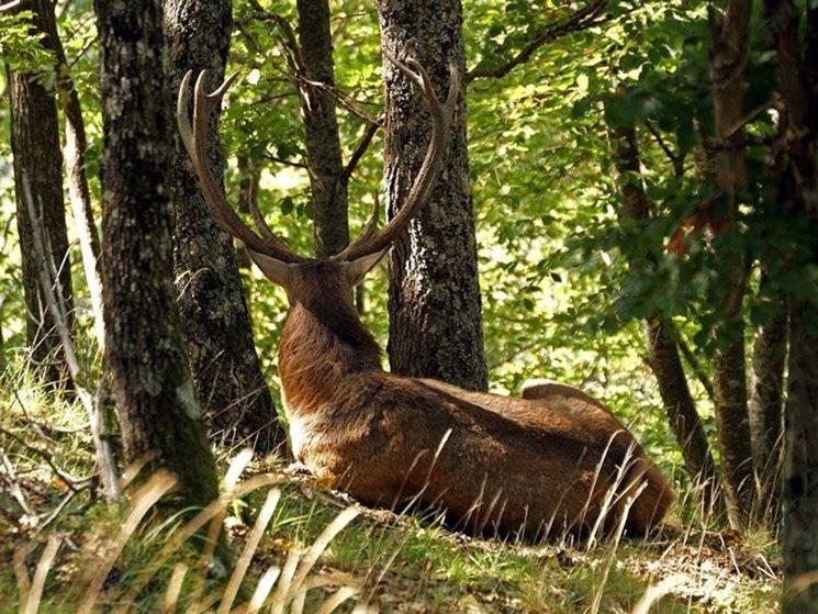 Cervo che riposa