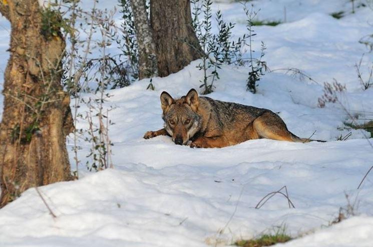 Lupo nel paesaggio invernale