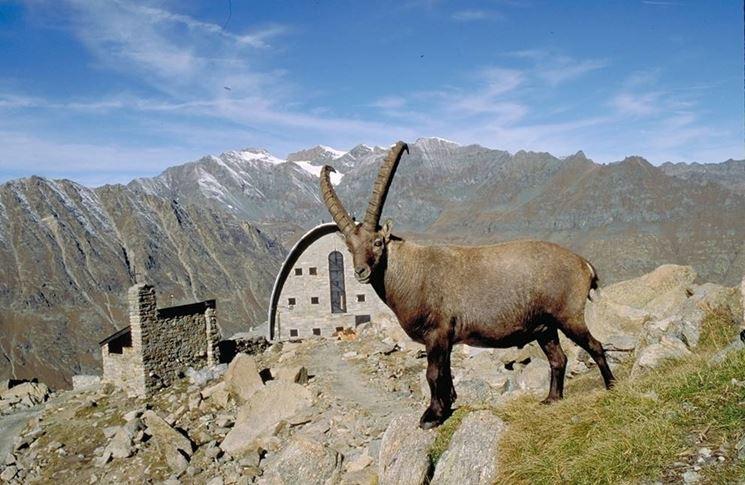 Lo stambecco animale emblema del Parco del Gran Paradiso