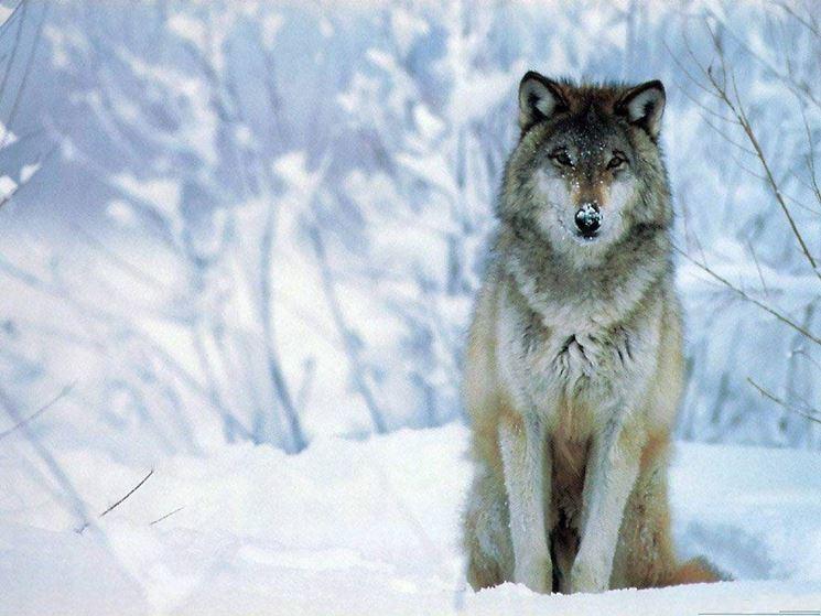 Il lupo nel Parco Gran Sasso