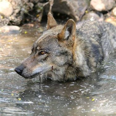 Il lupo abruzzese