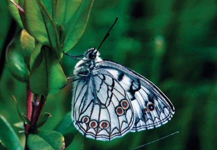 Farfalla Melanargia arge