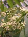 """Ailanthus altissima"""""""