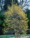 """Cornus alternifolia"""""""