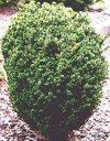 """Cryptomeria japonica"""""""