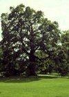 """Quercus robur"""""""