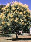 """Koelreuteria paniculata"""""""