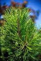 """Pinus pinaster"""""""