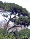 """Pinus pinea"""""""
