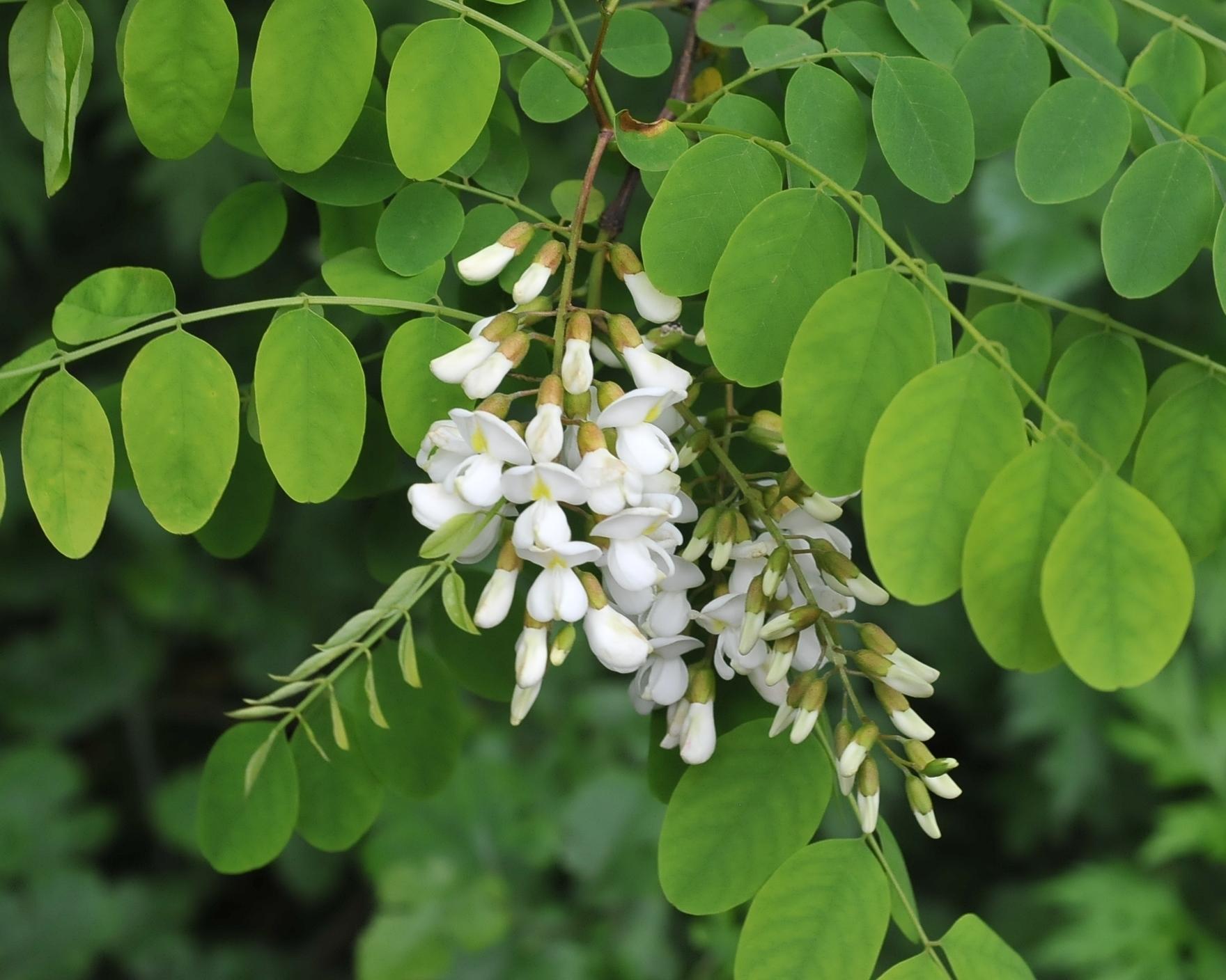 acacia albero