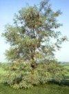 "Robinia pseudoacacia"""