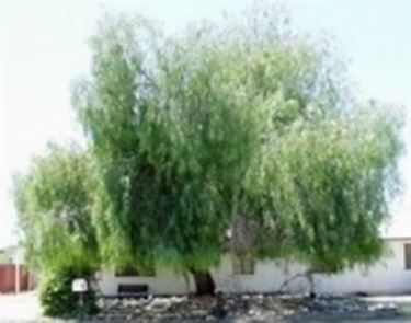 Schinus pianta