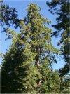"""Sequoiadendron giganteum"""""""