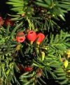 Taxus baccata""