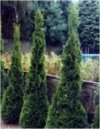 Thuja occidentalis""