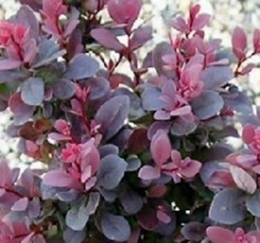 Berberis piante da giardino for Pianta con foglie rosse