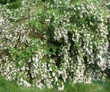 Deutzia - Piante da Giardino