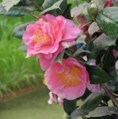 Camelia coltivazione camellia japonica camellia for Camelie in vaso