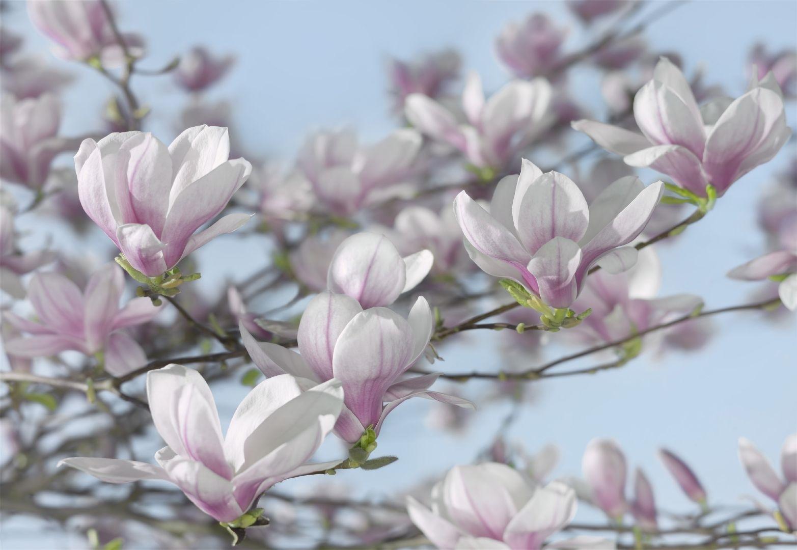 magnolia botanica