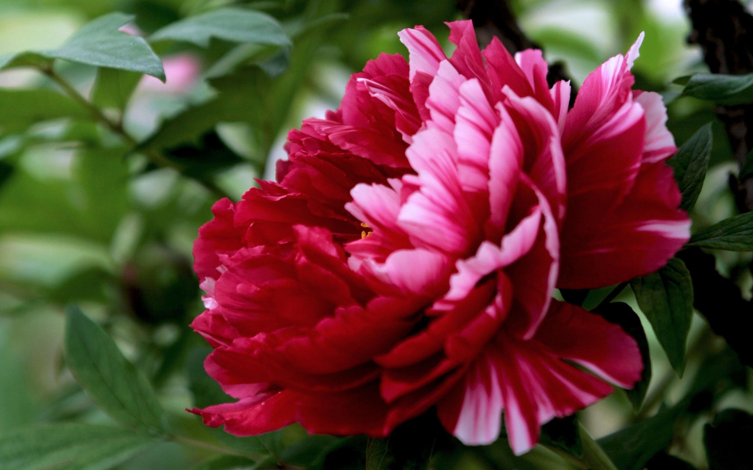 peonia fiore
