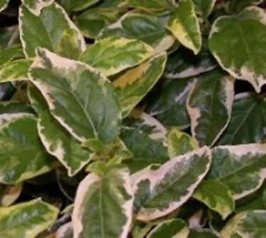 Foglie variegate piante da giardino foglie variegate for Piante ornamentali da giardino prezzi