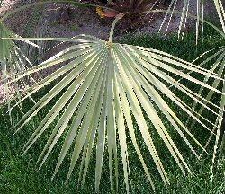 "Washingtonia filifera"""