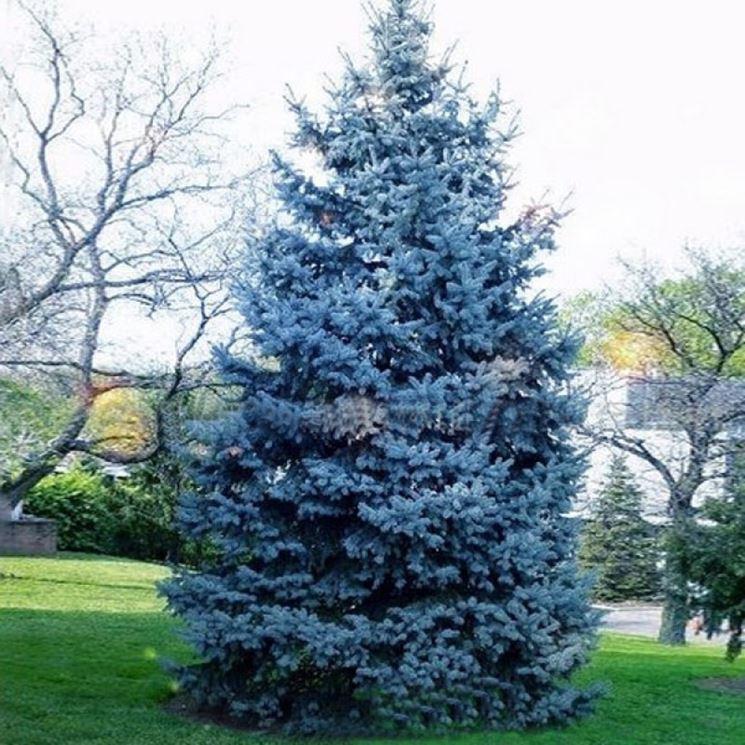 Abete argentato alberi variet abete - Pini da giardino prezzi ...