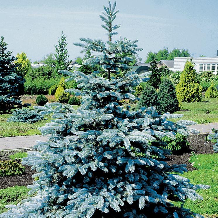 Pino argentato giardino
