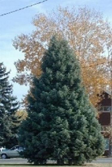 Abete abies concolor alberi abete alberi for Abete da giardino