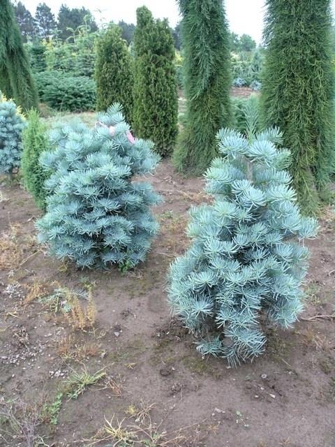 Abete abies concolor alberi abete alberi - Pini da giardino prezzi ...
