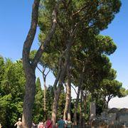 pino albero